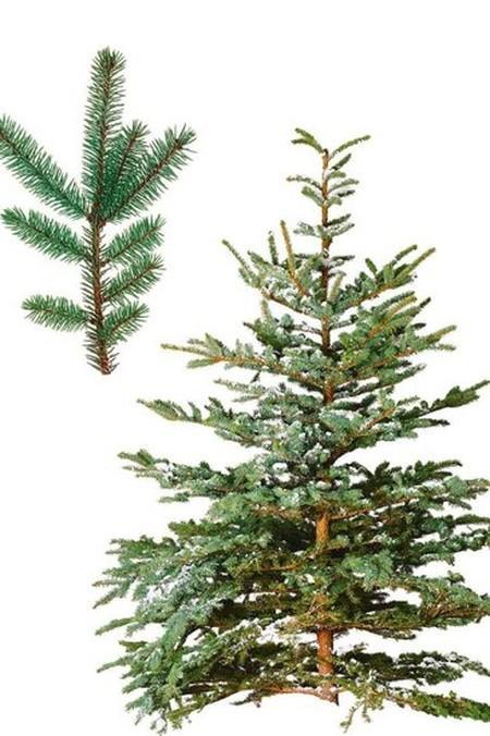 Как правильно выбрать живую елку?