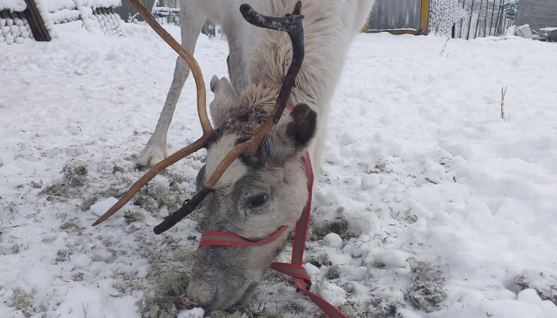 Пропавший в Вилге северный олень Ляля нашелся