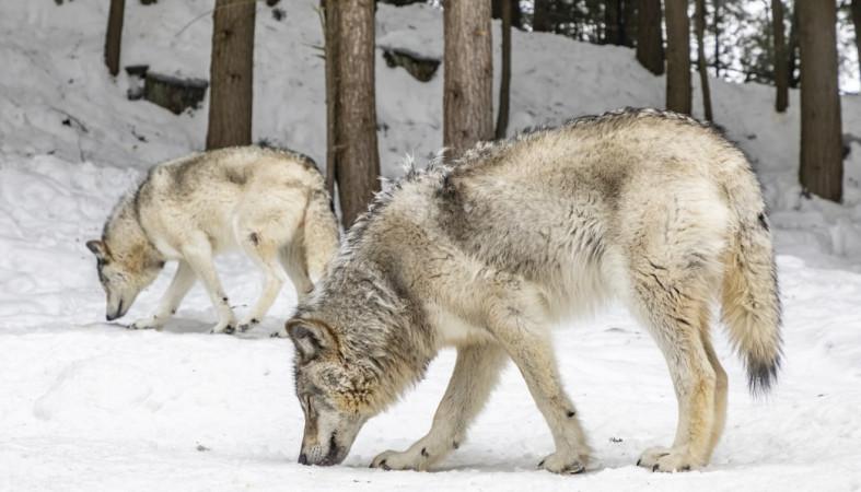 Волки держат в страхе жителей села в Олонецком районе Карелии