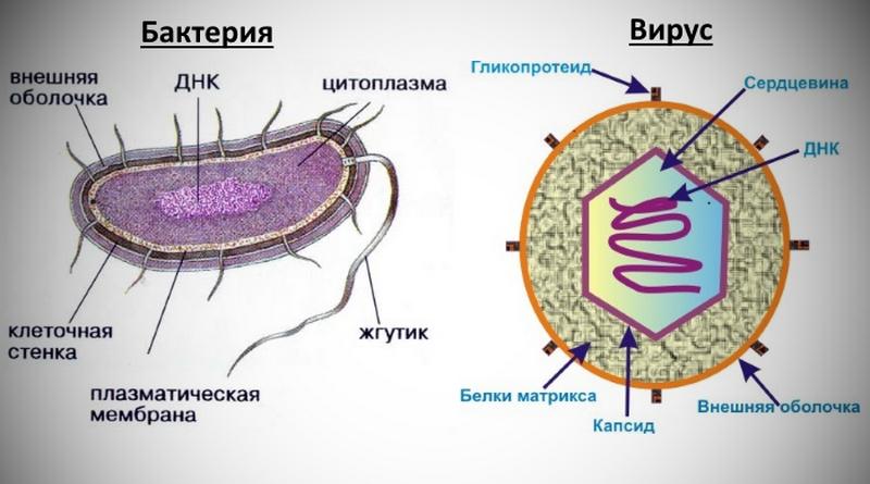 Вирус или бактерия? Определяем причину инфекционного заболевания
